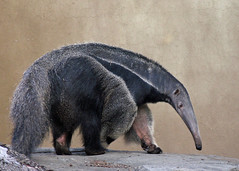 Giant Anteater (njchow82) Tags: canada calgary nature animal zoo wildlife alberta anteater potofgold giantanteater animaladdiction avisittothezoo anawesomeshot naturewatcher itsazoooutthere zoosofnorthamerica naturescreations njchow82