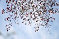 spring sky (*suika *) Tags: simplicity piaff iwillvisityouslowly sakuraskyslightbluespringscene todayisawthefilmedith
