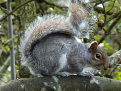 Grey Squirrel. (cazstar) Tags: avision impressedbeauty wowiekazowie