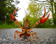 Rusty Crayfish by J Gilbert