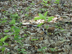 black snake on the trail near Worthington House