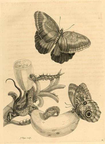 Metamorphosibus Insectorum Surinamensium (p55)