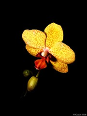 Into The Light (kudaker) Tags: light black orchid flower macro yellow 35mm flora vibrant flash aviles sanfranciscoconservatoryofflowers e500 kabayanmeetup