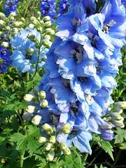 Delphinium (mamietherese1) Tags: blue delphinium flowermacro anawesomeshot top30blue sensationalcreationsofexcellence