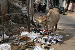 Cows Eat Garbage