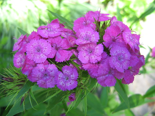 Sweet William (pinks)