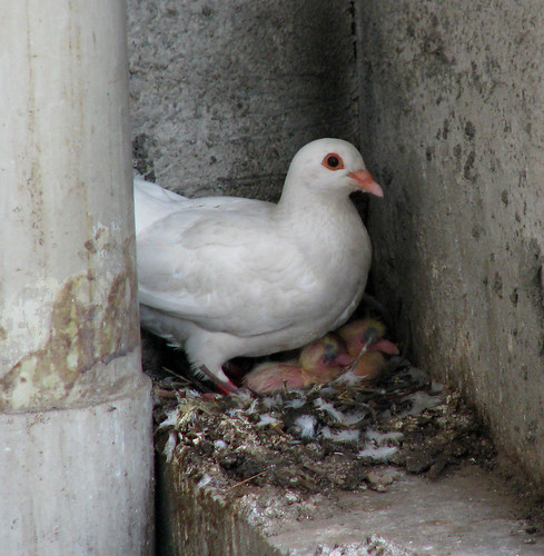 Pigeon Babies