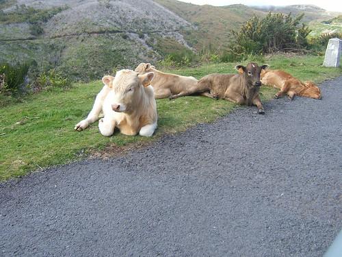 Madeira - Vacas