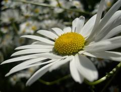 dasiy bunch (dandavie) Tags: plants flower macro nature bunch dasiy