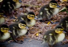 on the run (joffathan) Tags: road orange animal yellow duck spring riverside stadium duckling fast mum middlesbrough prot