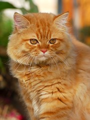 Shiri Portrait (Abdalla Naas) Tags: orange cat fluffy shiri freephotos bestofcats pet100 goldstaraward qualitypixels