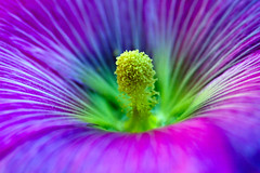 Forza centripeta....EXPLORE#488 (sirVictor59) Tags: pink flowers blue italy plant flower colour macro green nature topf25 beauty sunshine closeup insect star petals fantastic movement topf50 flora nikon colorful italia colore dof purple searchthebest bright bokeh magic softness picture violet twist explore stamen swirls bud supernova fiori fiore hollyhock soe aster blooming novi alcea flickrnature golddragon excellencehalloffame abigfave aplusphoto diamondclassphotographer incrediblenature nikor105mm goldstaraward excapturemacro macroflowerlovers mimamorflowers awesomeblossoms sirvictor59 starcentre vigilantphotographersunite vpu2 vpu3 vpu4