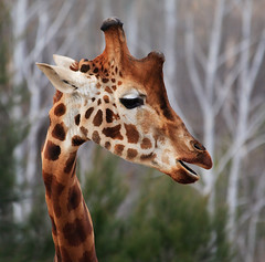 Giraffe - What you looking at! (Tanya Puntti (SLR Photography Guide)) Tags: nature animal zoo giraffe canoneos5d canonef70300mmf456isusm canberranationalzoo nationalzooaustralia