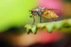 bubble blowing 4 (Haentjens Raphal - Macropixels) Tags: macro nature beautiful up closeup wow insect close belgium belgique magic ardennes blowing best stunning bubble excellent flies magical arthropods arthropoda insecte mouche diptera raphal macrophotography wallonie macrography bubbleblowing insecta vielsalm hexapoda pterygota eukaryotes bilateria ecdysozoa neoptera endopterygota macrophotographie stuning eukaryota diptre macrographie dipterous salmchateau haentjens macropixels protostomia mandibulata bilaterians salmchteau protostomes ecdysozoans panarthropoda dicondylia atelocerata panhexapoda panorpida canonmpe65mmf2815xsupermacro