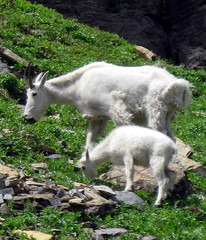 Mountain Goat with Kid,  Glacier National Park, Montana wildlife (moonjazz) Tags: park white mountains green nature grass animals fur rockies lunch mammal kid high montana child wildlife small hill young mother grow horns glacier eat goats alpine dine wilderness slope adaptation steep incline survive hooves naturesfinest 5photosaday mywinners impressedbeauty