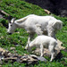 Mountain Goat with Kid,  Glacier National Park, Montana wildlife