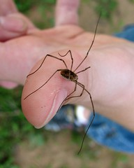 small grandaddy longlegs