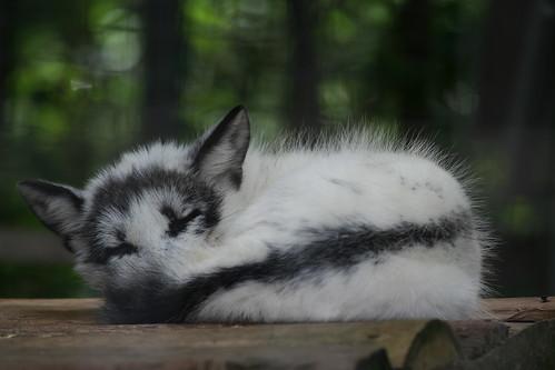 Sleeping Arctic Fox 2 by Ber