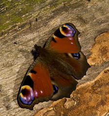 """Peacock Butterfly (inachis io)(18) • <a style=""""font-size:0.8em;"""" href=""""http://www.flickr.com/photos/57024565@N00/2781887064/"""" target=""""_blank"""">View on Flickr</a>"""