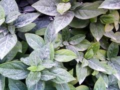 Polvo sobre la hojas