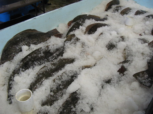 Halibut on ice at Pillar Point