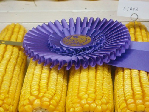 Blue-ribbon Corn at the County Fair