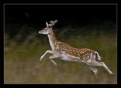 Deer Run (JKmedia) Tags: grass canon eos alone nt running run deer explore nervous pan panning nationaltrust leap fallow leapin