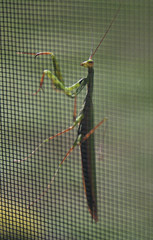 hellooooooo (*0ne*) Tags: pennsylvania prayingmantis 0ne familyvisit2008 christinekaelin