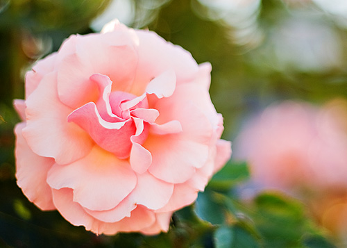 peach rose web