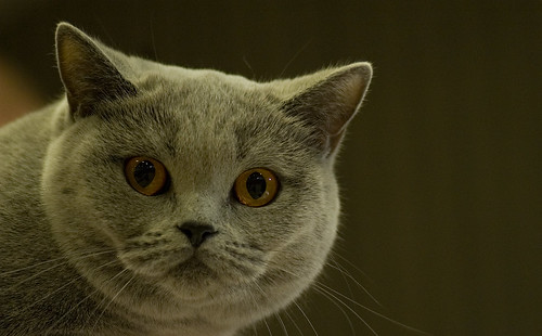 Blue British Shorthair by peter_hasselbom.