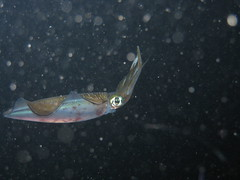 (Large) Squid on Night Dive