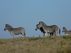 Zebras: Safari Holiday South Africa