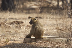Watching the world go by... (SarahDepper) Tags: baboon animalplanet zambia livingstone mosialtunya