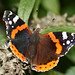 Red Admiral Butterfly (Vanessa atalanta) at Chartwell (Copyright Dave Halley 2008)