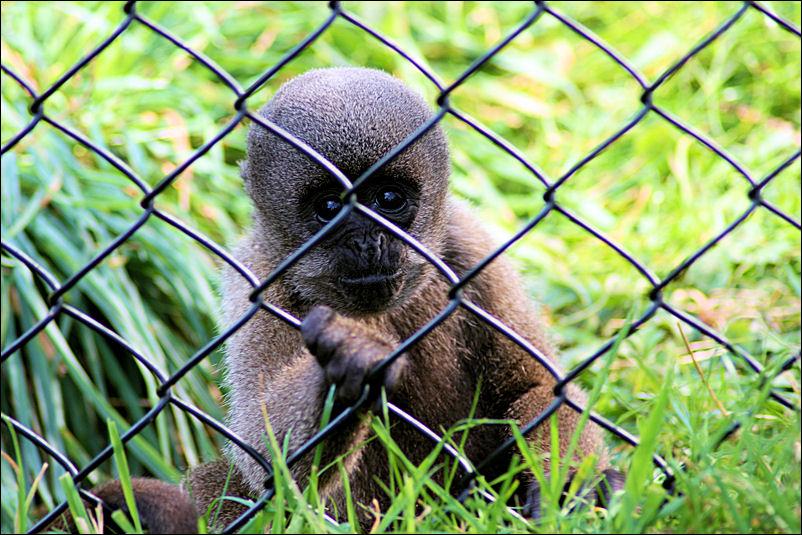 Woolly Monkey Baby