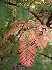 impart (Lizzie~Belle) Tags: autumn green october massachusetts stanleypark needles westfield feathery dawnredwood