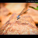 Blue Dragon fly   jpg