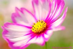 tutu... (bluehazyjunem) Tags: park pink autumn white flower memorial blossoms 2008 cosmos tutu picnik showa blueribbonwinner golddragon mywinners colorphotoaward platinumheartawards theperfectphotographer qualitypixels clmike 5mikeoct