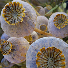 Poppy seed pods (Dragan*) Tags: autumn plant macro fall nature field yellow closeup fruit dof bokeh serbia seed poppy poppies getty dried belgrade seedpods beograd pods mak papaver srbija millefiori papaversomniferum opiumpoppy seedcapsule poppypods singidunum  poppyseedpods