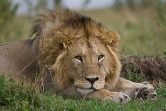_MG_1041 (biggles621) Tags: lion masaimara flickrbigcats