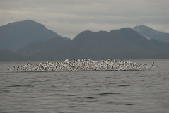 500 snow geese take to the air on their long journey south. The  flight path of these geese was adjacent to the proposed wind farm  location on Banks Island and directly on the tanker route path into  Kitimat, B