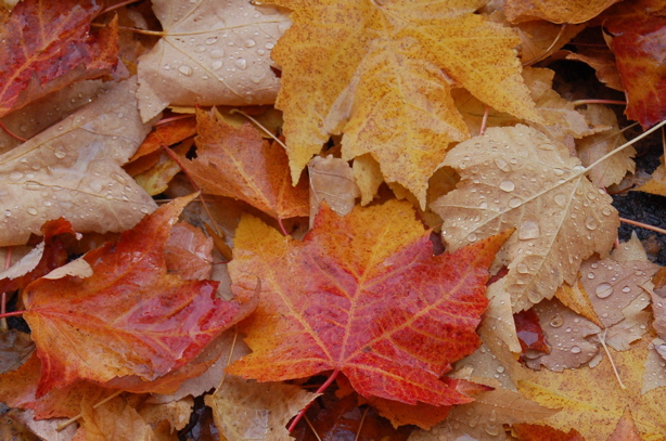 autumn_leaves_lots_colors_drops_sides