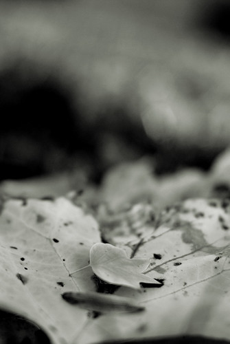 leaves in b&w 1