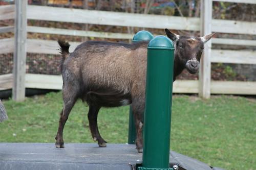 Ethel, Nigerian Dwarf Goat