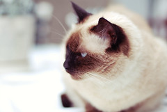 Misty (jami_lee) Tags: blue brown white face cat soft fluffy siamese