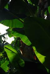 Under the shadow (almogdesign) Tags: green tress bannas