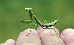 Mantis on the Back of my Hand (Jeff Clow) Tags: macro nature mantis insect explore dfw prayingmantis jeffclow anawesomeshot impressedbeauty ©jeffrclow ahqmacro