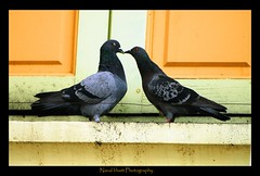 Love (A wandering hermit) Tags: love birds photography p naval pegions bhatt