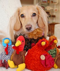 Honey with Turkeys (Doxieone) Tags: thanksgiving dog cute turkey doll cream dachshund honey blonde coll honeydog englishcream honeyset ayearofholidays thanksgiving2008set