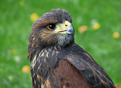 Der Aufmerksame (dolorix (on/off)) Tags: bird nature natur buzzard vogel hellenthal bussard natureselegantshots multimegashot thewonderfulworldofbirds